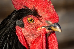 chicken-11