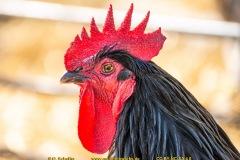 chicken-12
