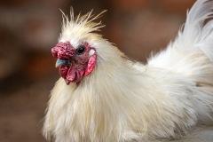 chicken-13