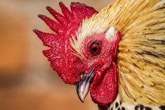 chicken-16