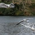 Möwe, seagull