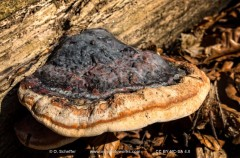 polypore, Pilz, Schwamm