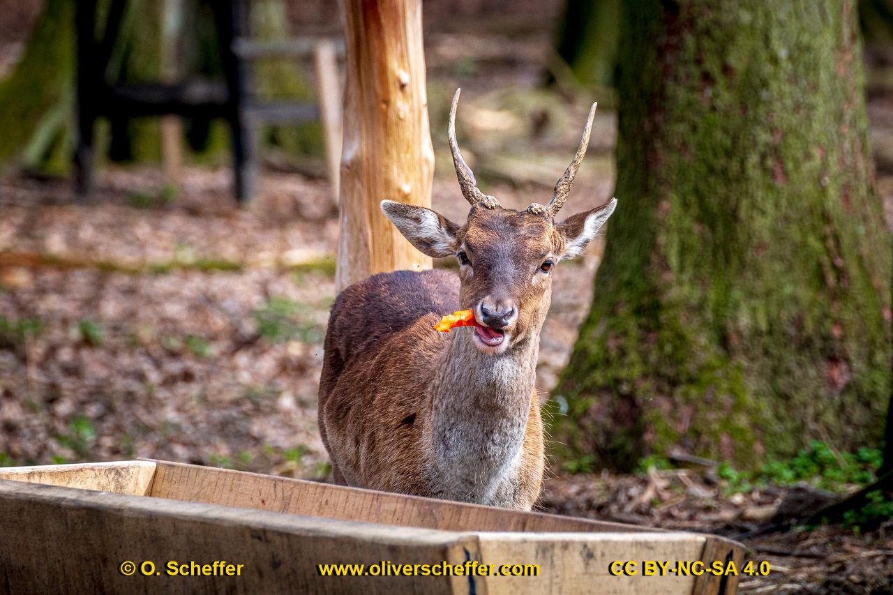 animalphotography at the gamepark Grafenberg in Duesseldorf (Germany)