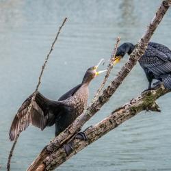 Kormoran, cormorant-1
