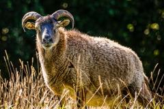 sheep-05