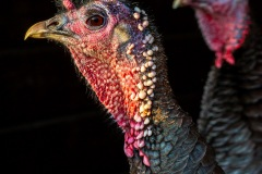 turkey-16