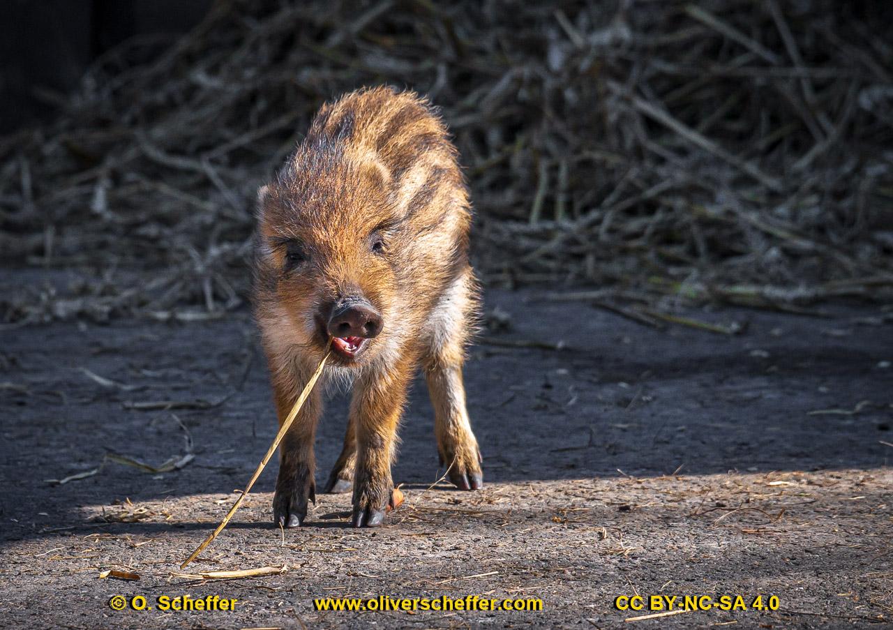 Wildschwein-02
