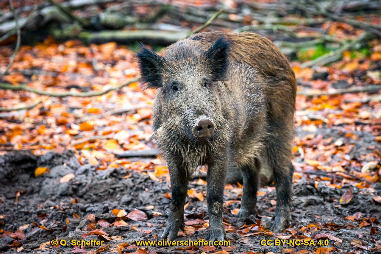 Wildschwein-16