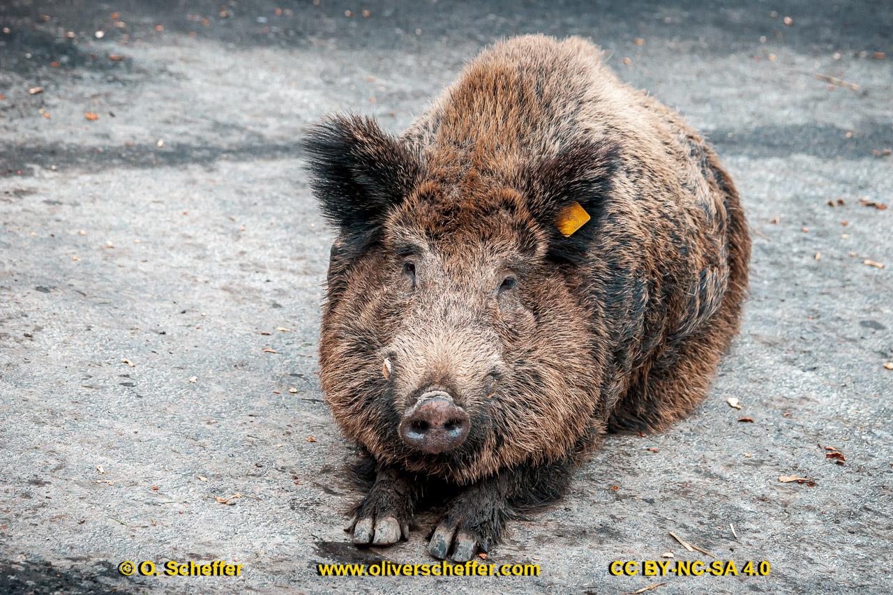 Wildschwein-41