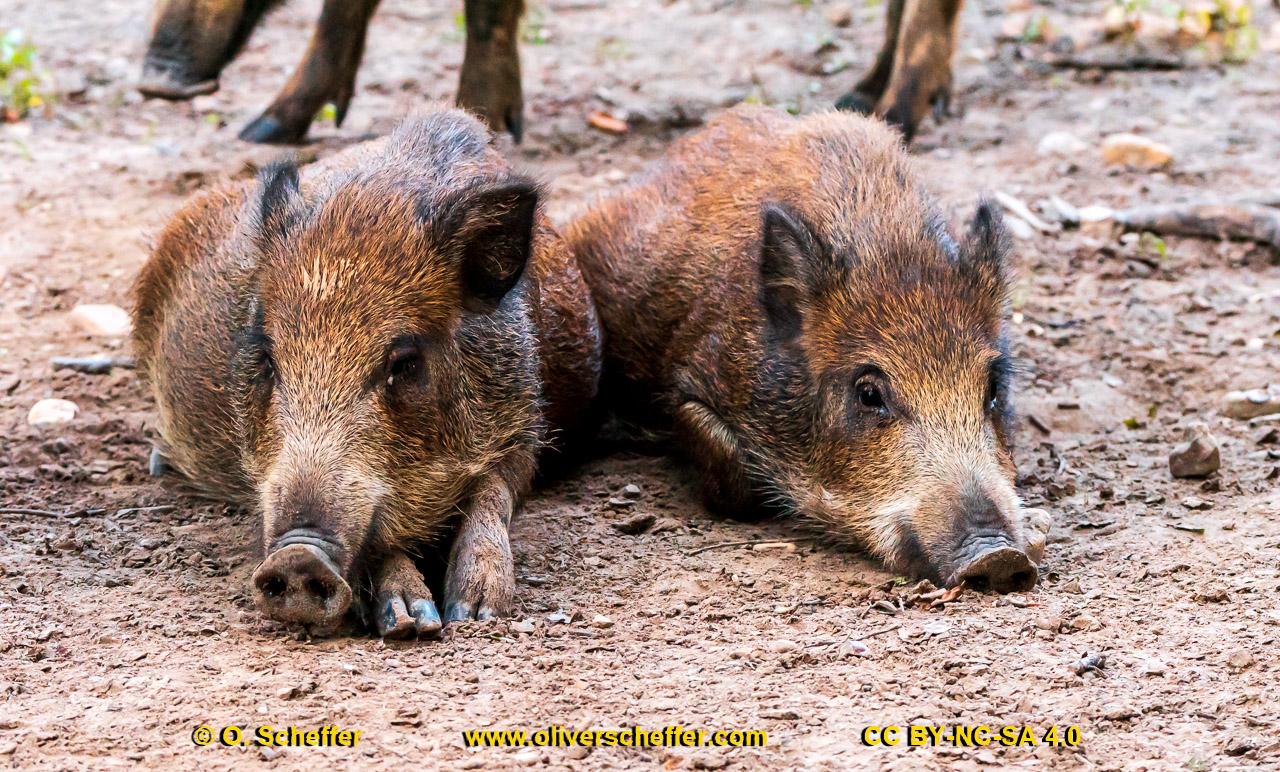 Wildschwein-45
