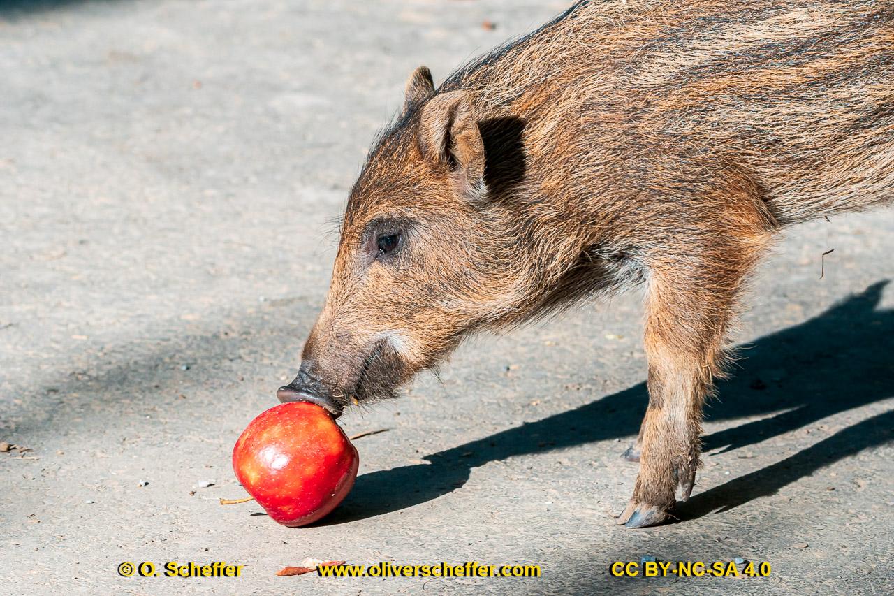 Wildschwein-47