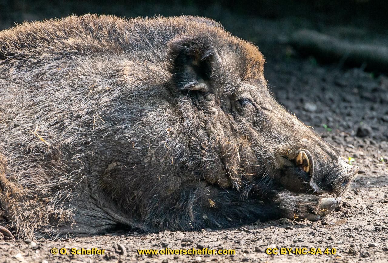 Wildschwein-48