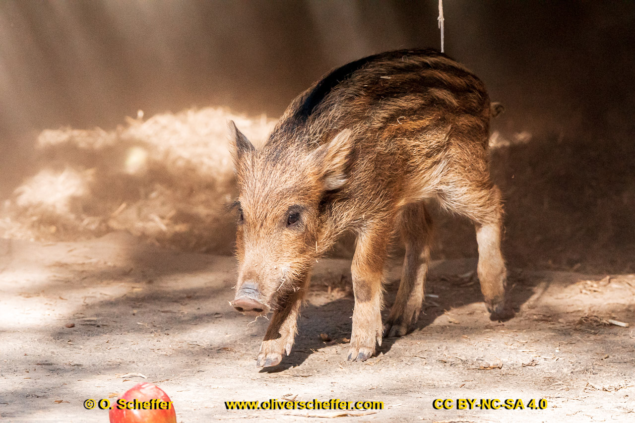 Wildschwein-49