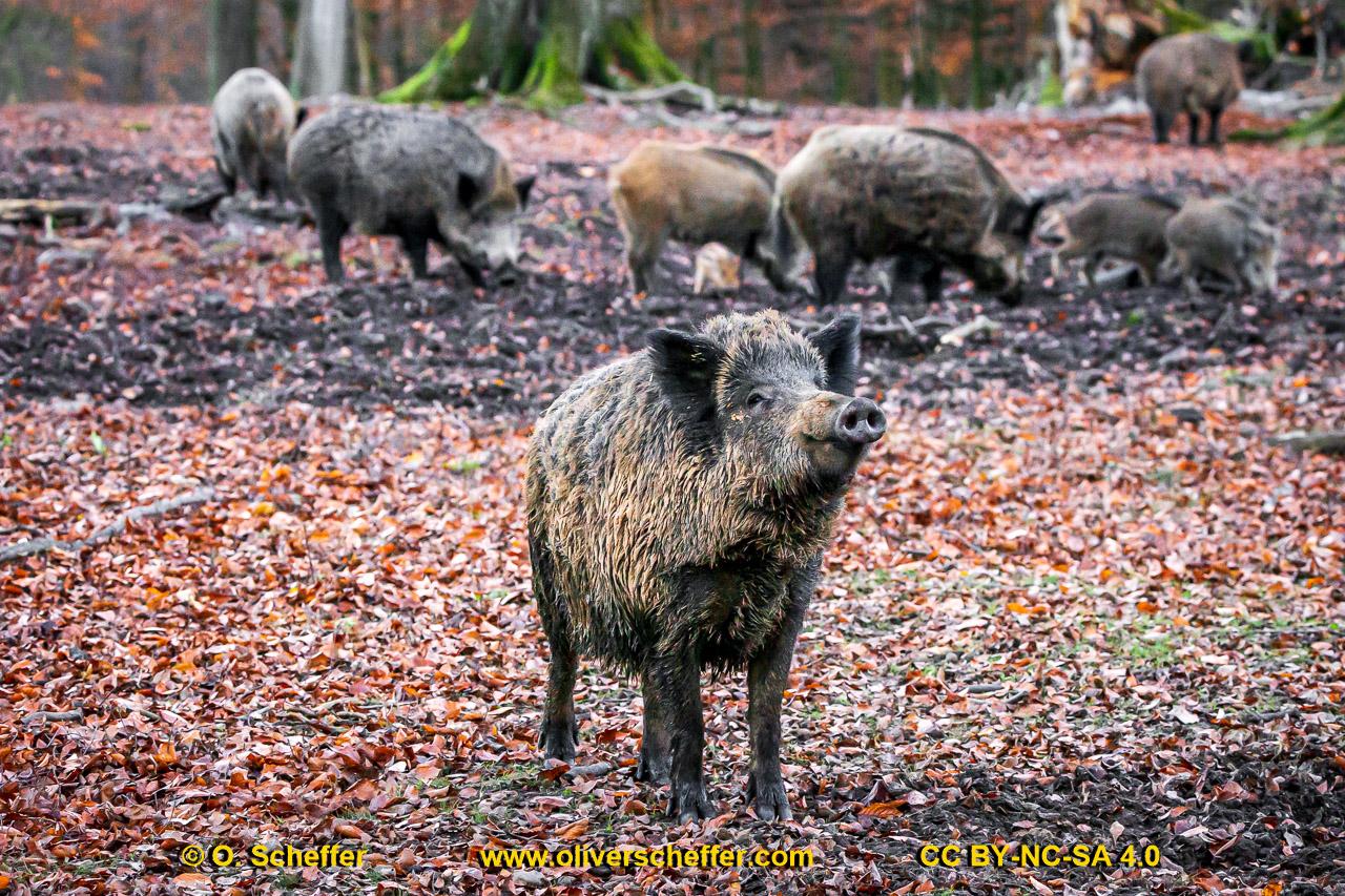 Wildschwein-50