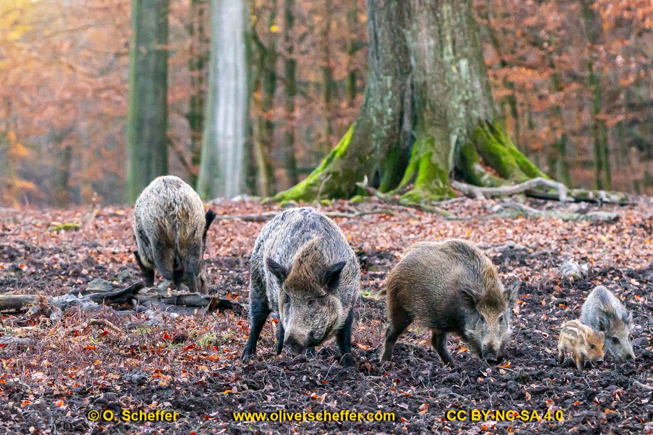 Wildschwein-51