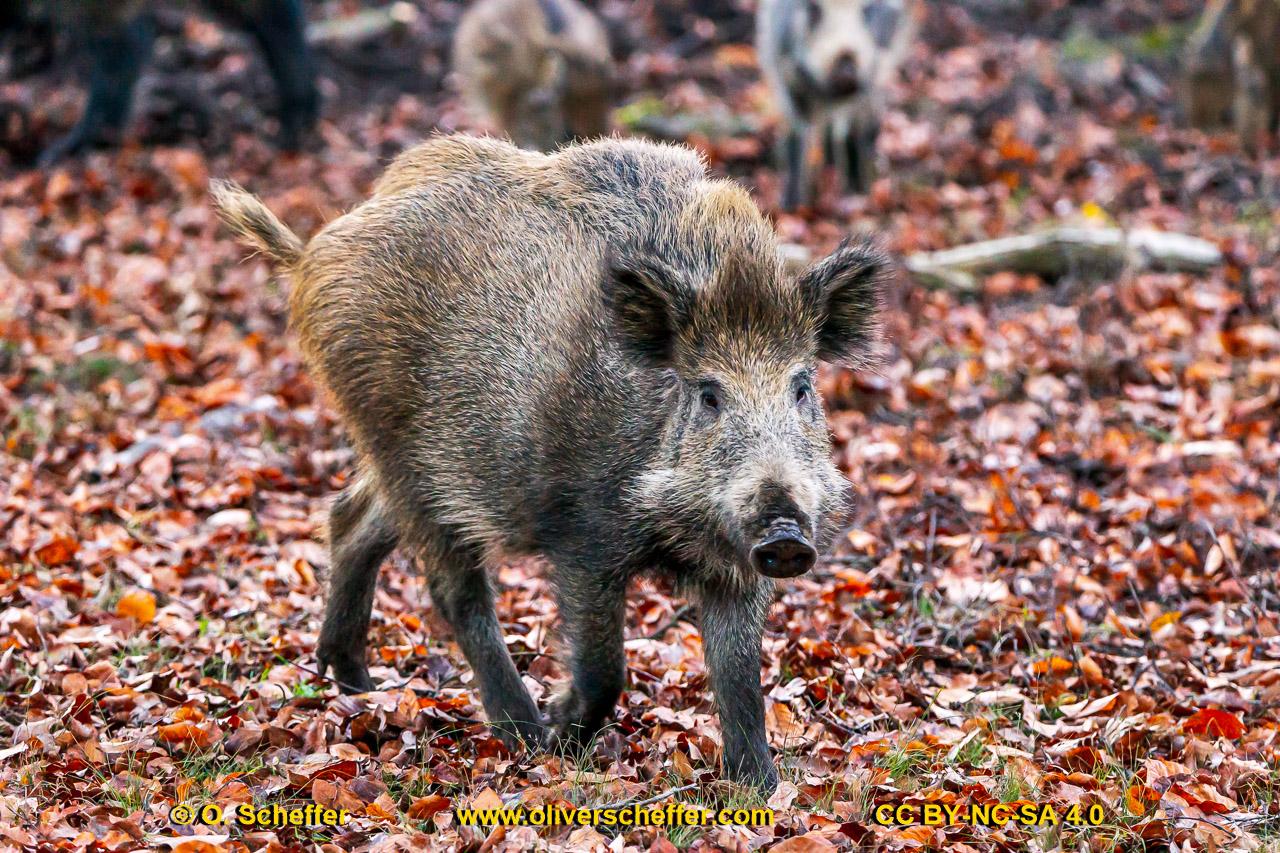 Wildschwein-52