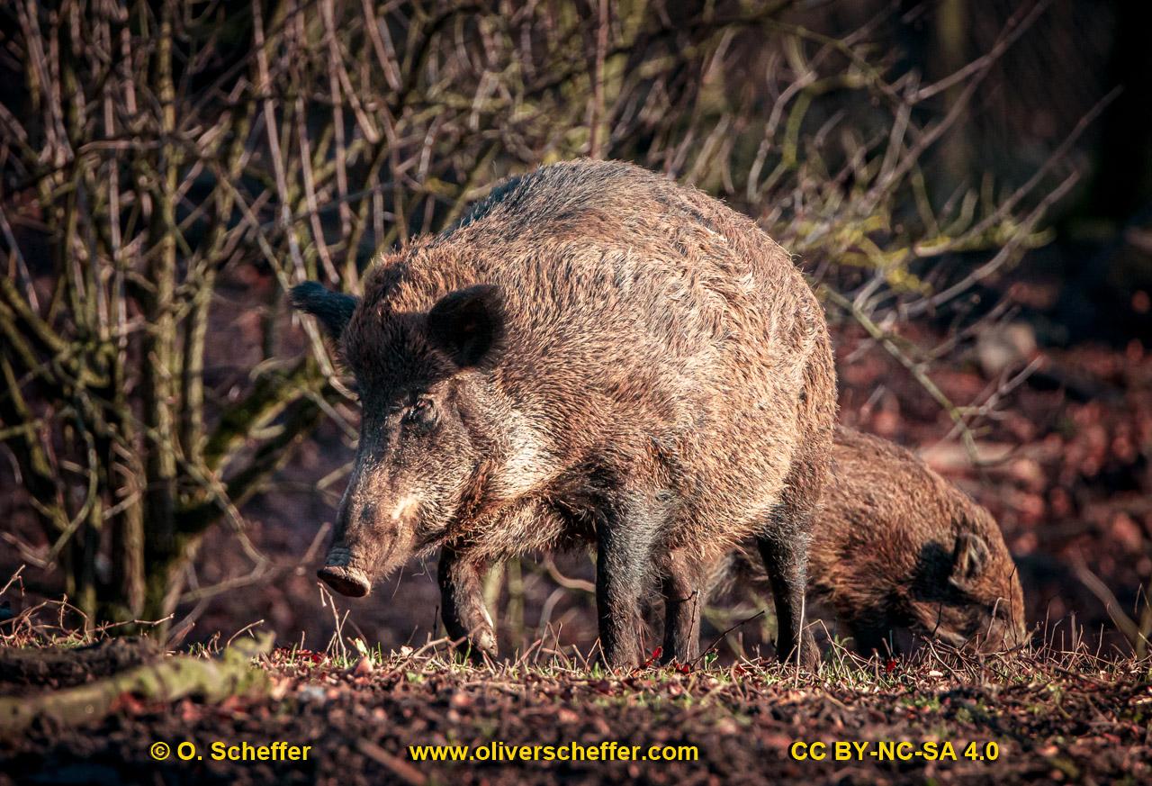 Wildschwein-53