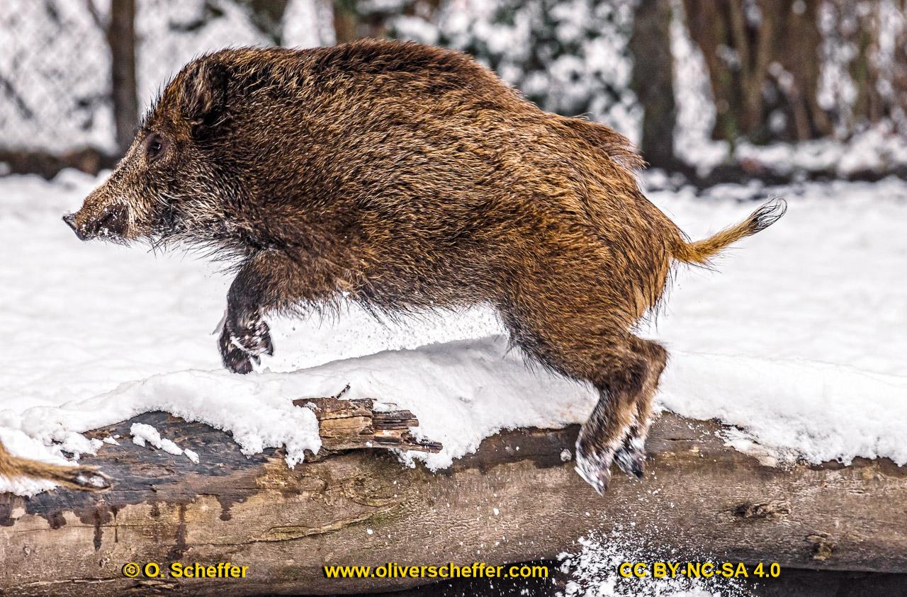 Wildschwein-54