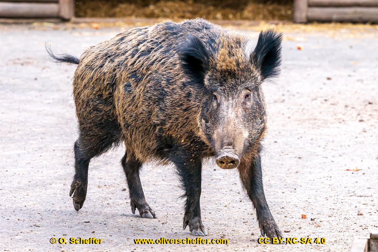 Wildschwein-55