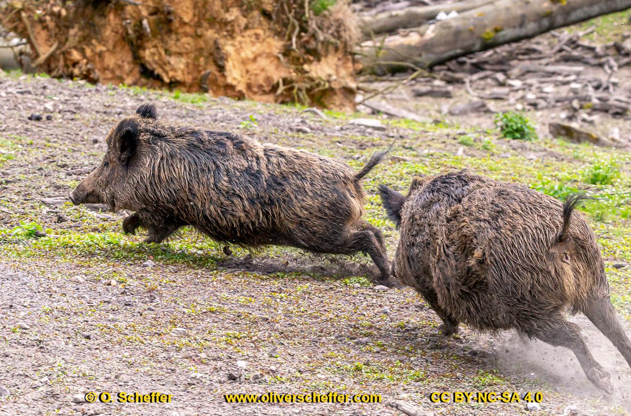 Wildschwein-57
