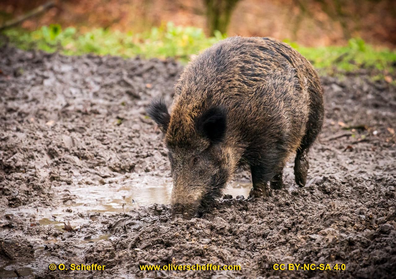 Wildschwein-61
