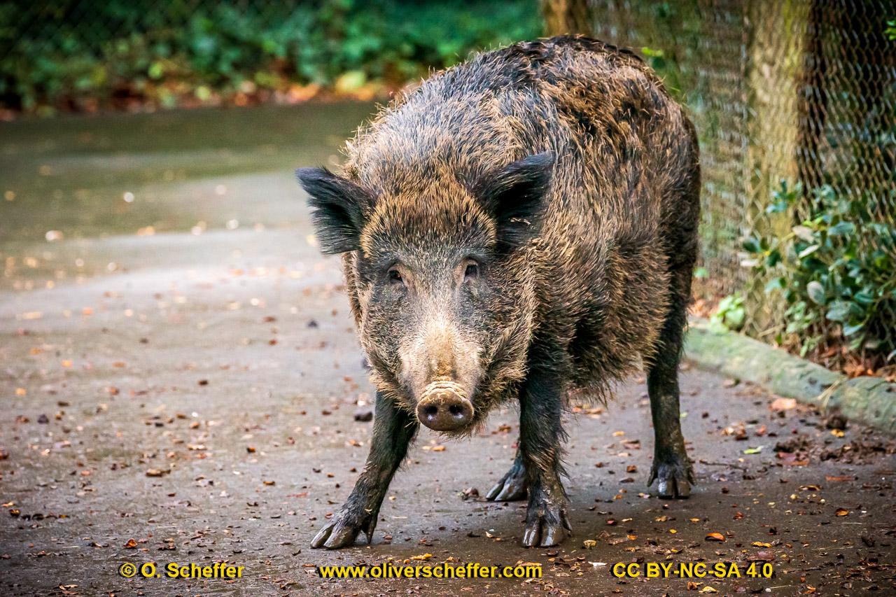 Wildschwein-62