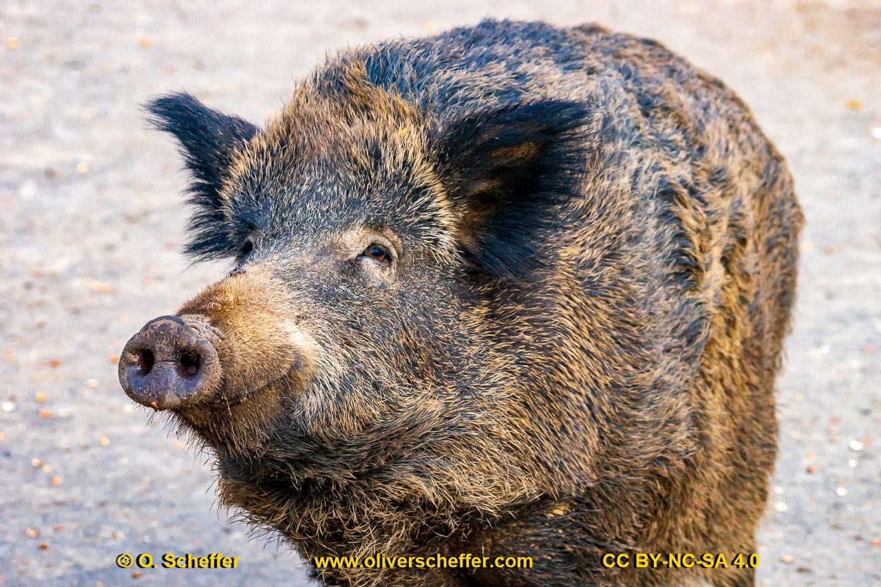 Wildschwein-63
