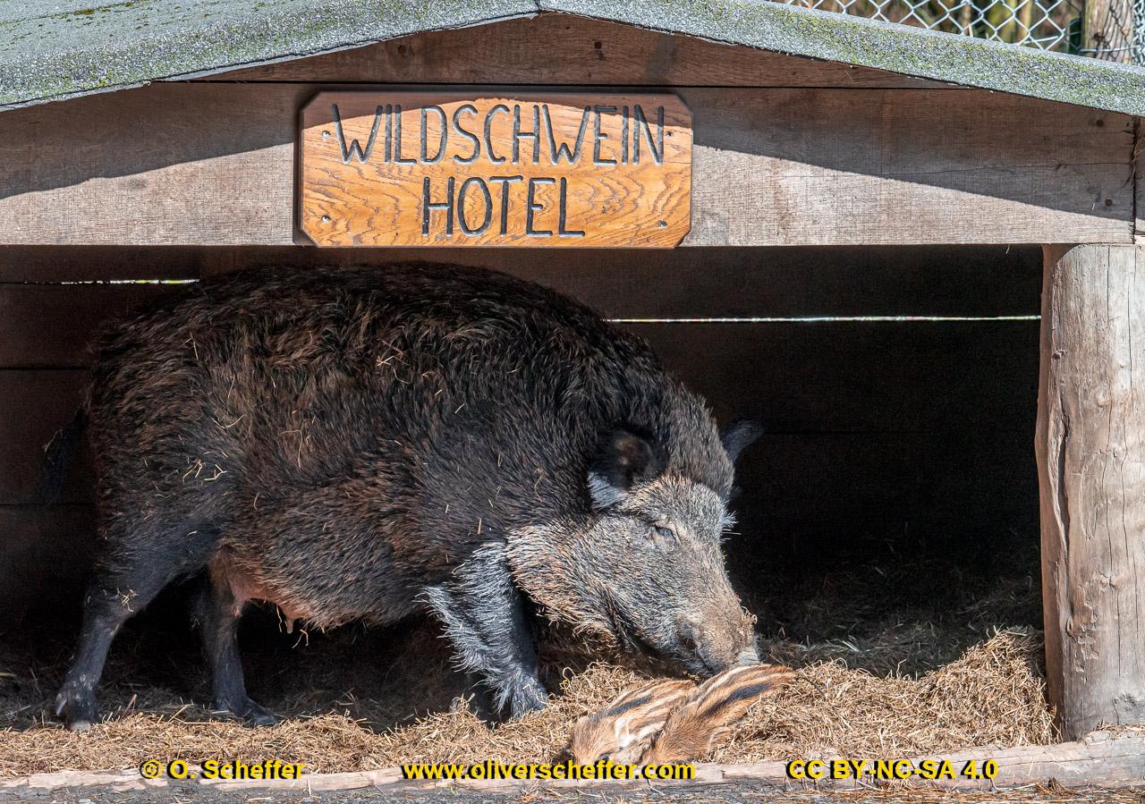 Wildschwein-65