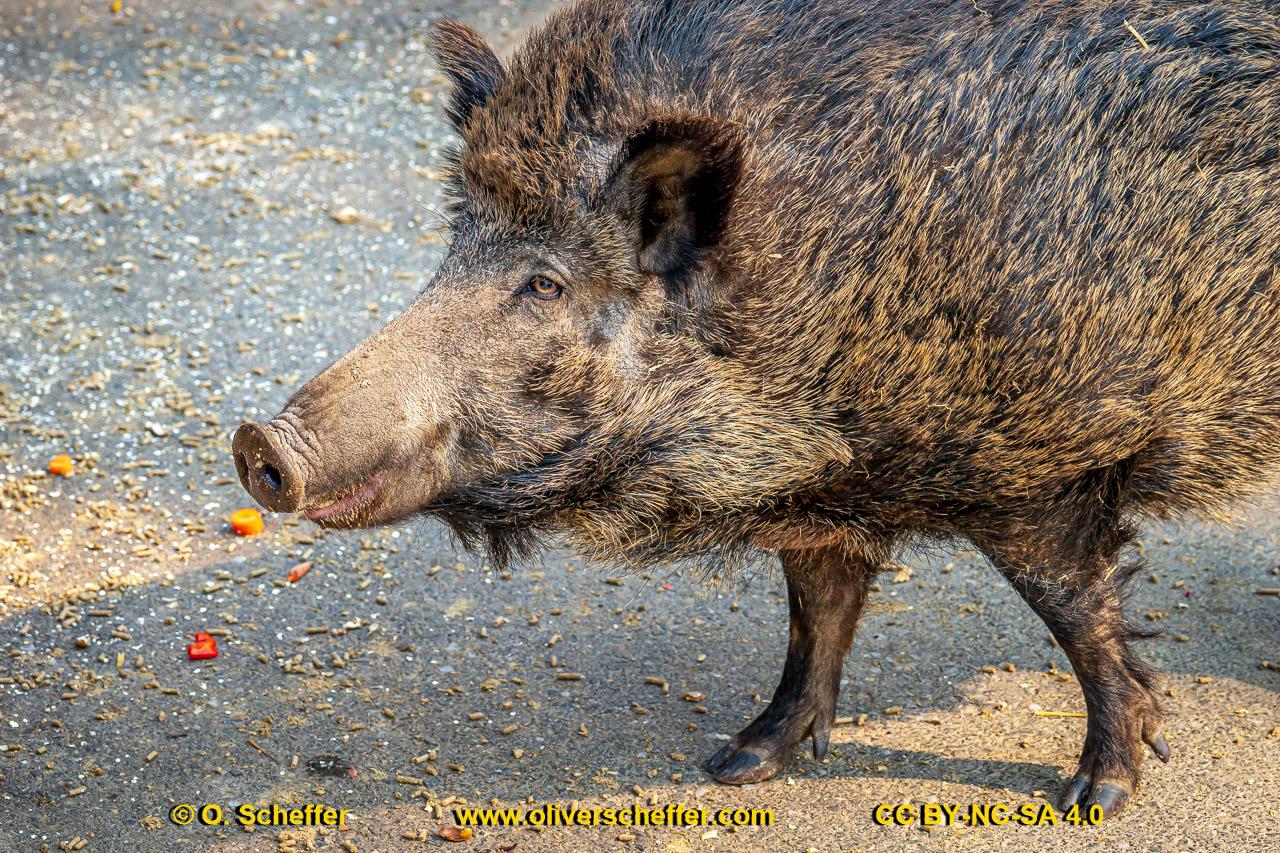 Wildschwein-70