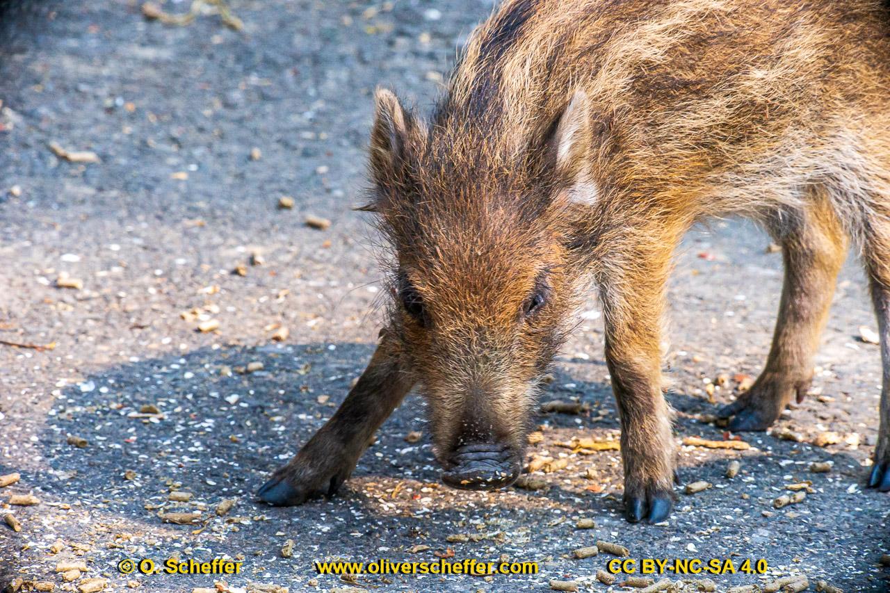 Wildschwein-72