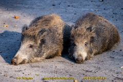 Wildschwein-15