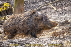 Wildschwein-22
