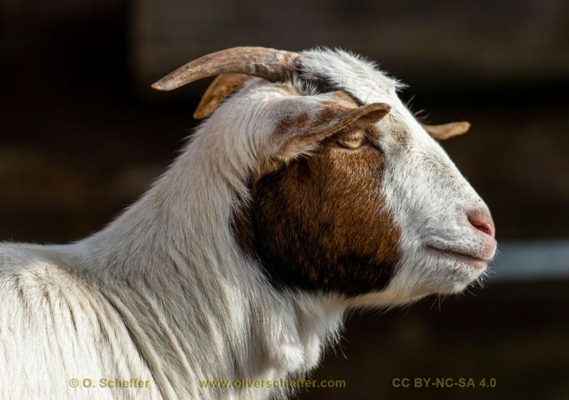 goat-31