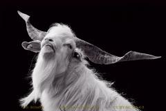 goat-01