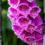 roter Fingerhut in voller Blüte