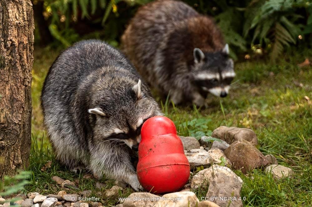 raccoon_waschbaer