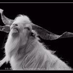 billy-goat at Gut Grütersaap