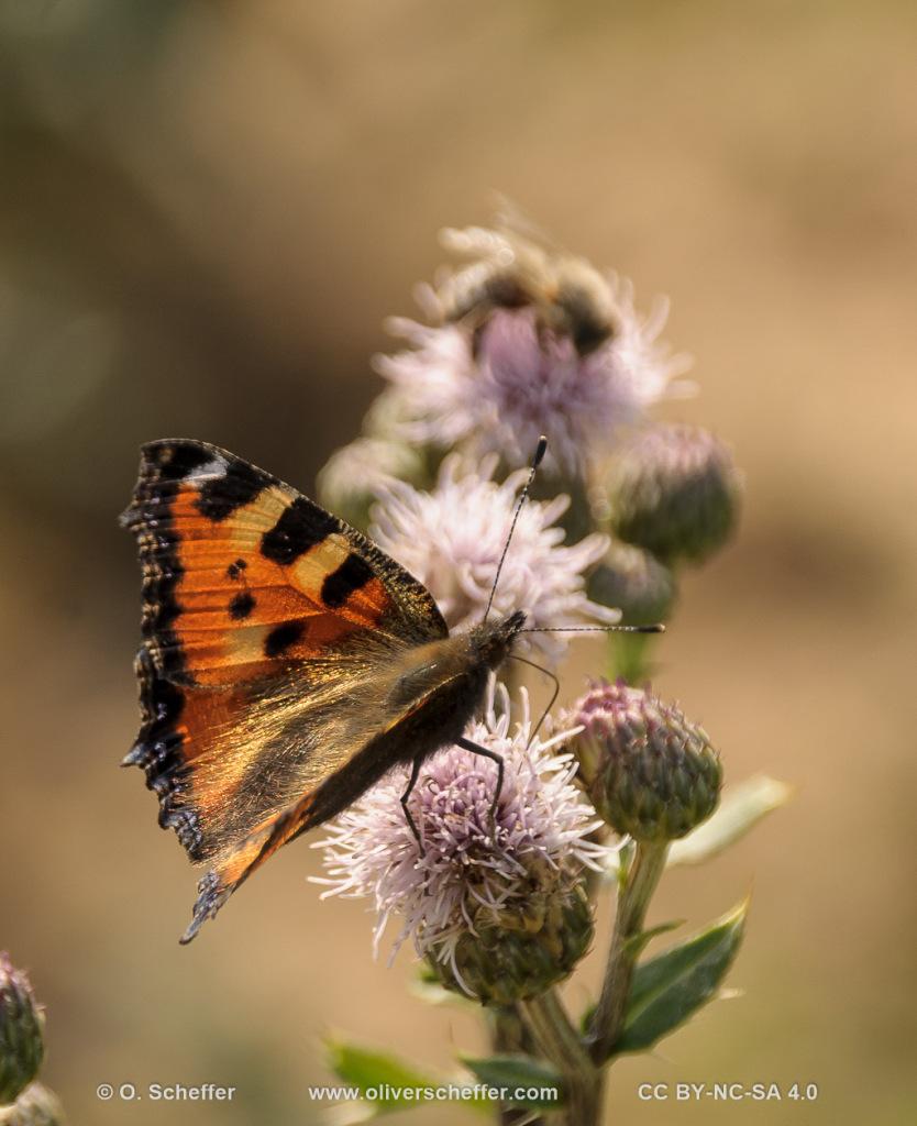 butterfly,Schmetterling