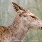 Rotwild, red deer Wildpark Grafenberg