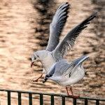 new gallery: BIF – birds in flight