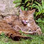 Wildkatze im Wildpark Grafenberg