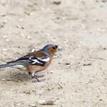 Buchfink im Wildpark Grafenberg