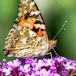 cosmopolitan butterfly, Distelfalter