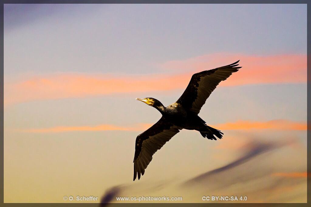 Kormoran, cormorant