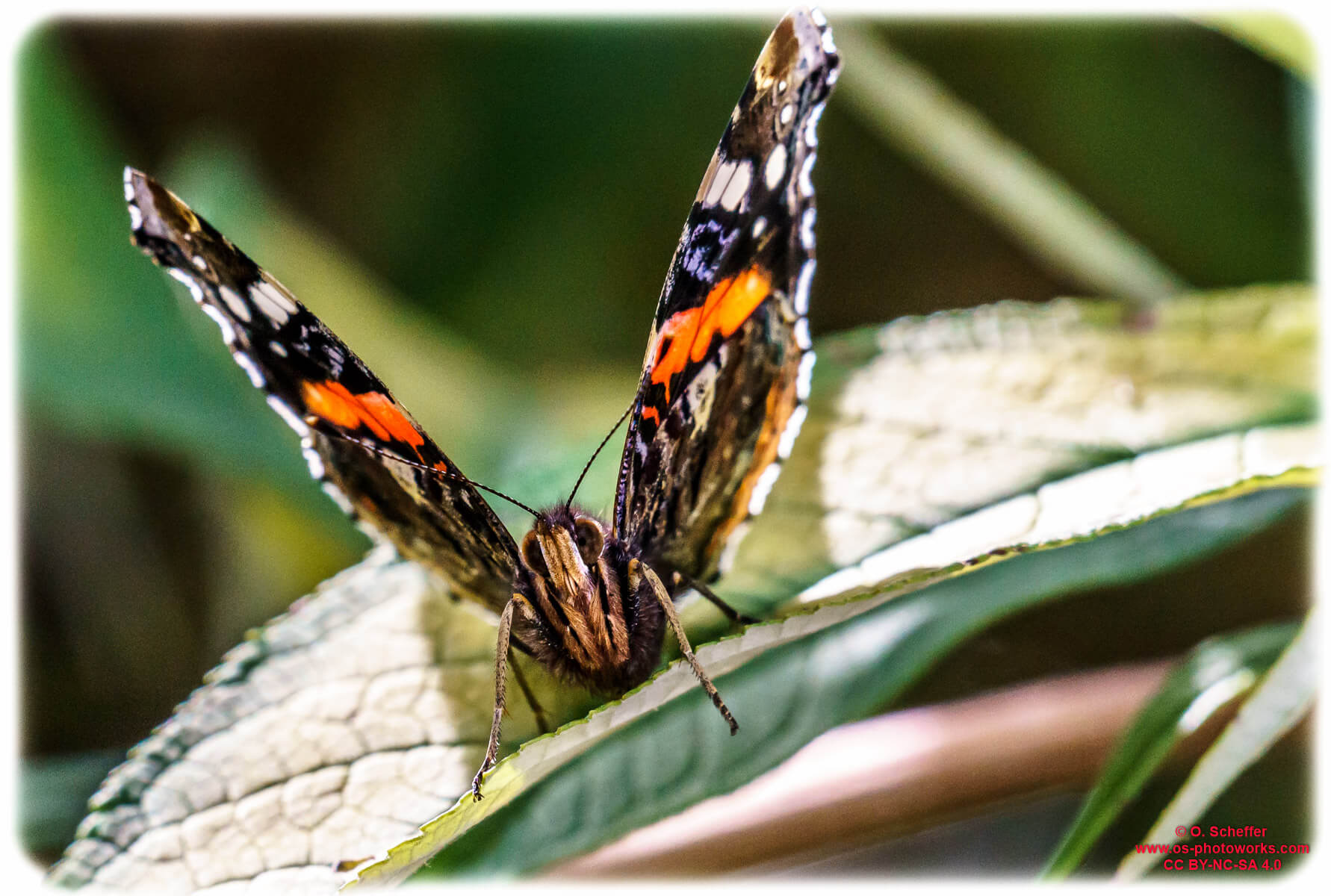 Admiral / red admiral